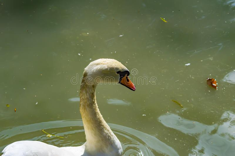 A white swan is floating in the water. Wild birds royalty free stock photos