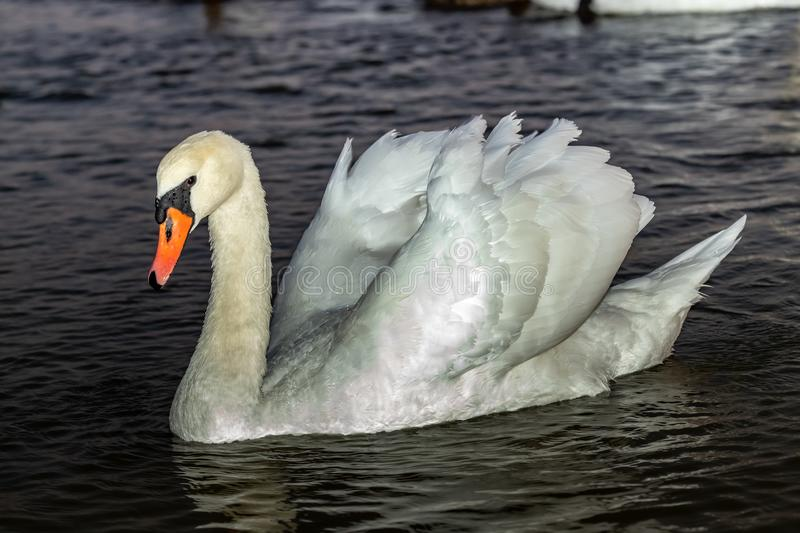 A white Swan floats on the dark water of the lake. Close up royalty free stock photo