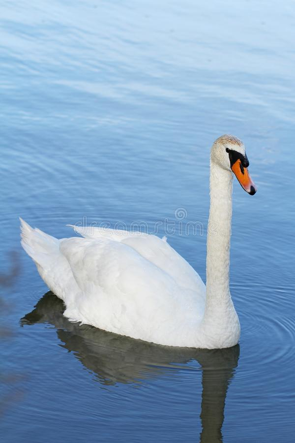 White swan floats on a pond royalty free stock images
