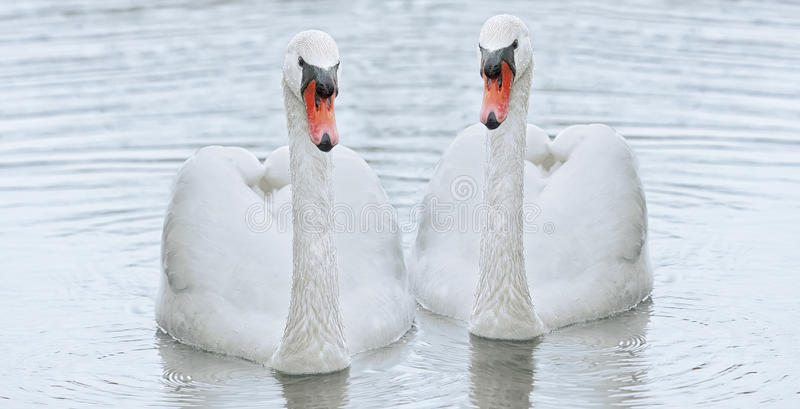 A white swan floats in the water. royalty free stock photo