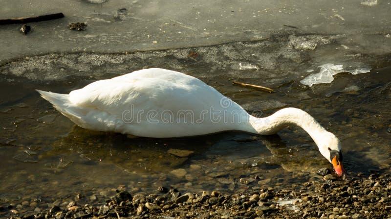 White swan on frozen lake searching food stock photo