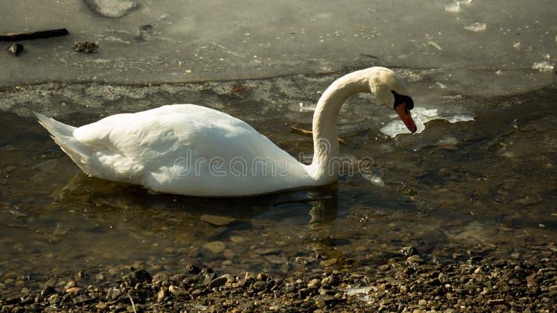 White swan on frozen lake stock photo