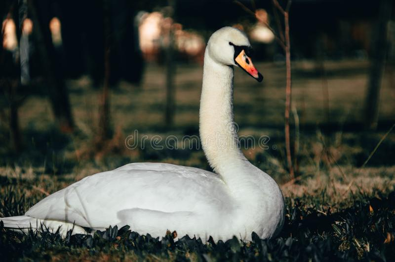White swan on the grass stock photography