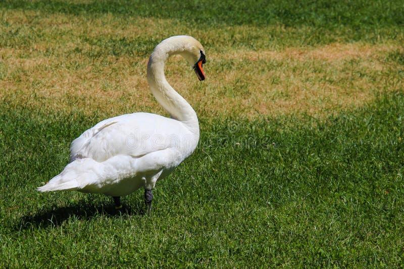 White Swan on Grass royalty free stock photo