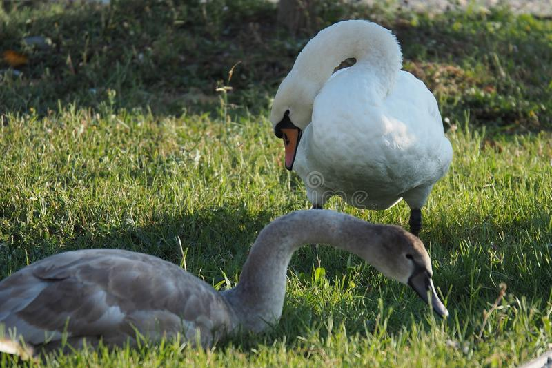 A white swan and a gray goose on a green lawn stock image