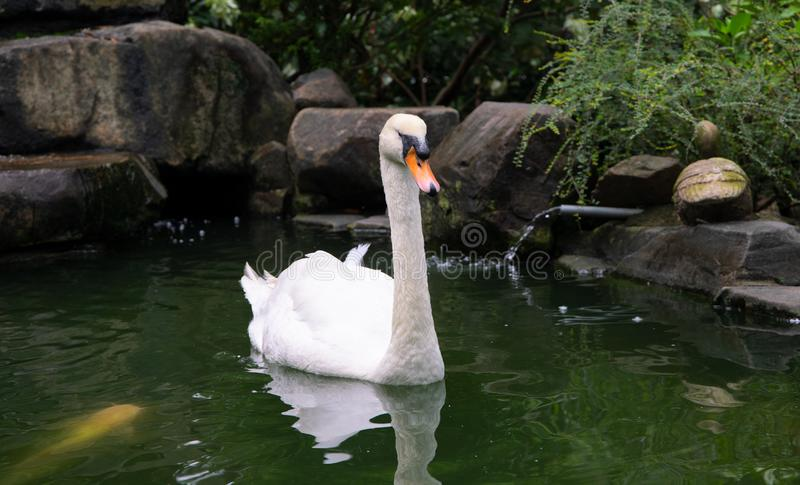 White swan on green lake. Beautiful water bird closeup photo. White swan portrait. Romantic lake view royalty free stock photography