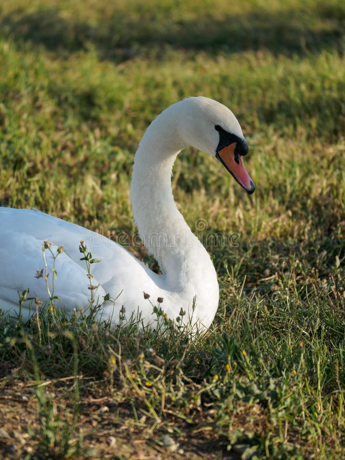 White Swan on a green lawn. The white swan sits on a green lawn at summer day royalty free stock photo