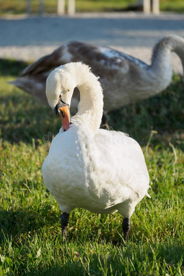 White Swan on a green lawn. The white swan is standing on the green lawn at summer day stock photos