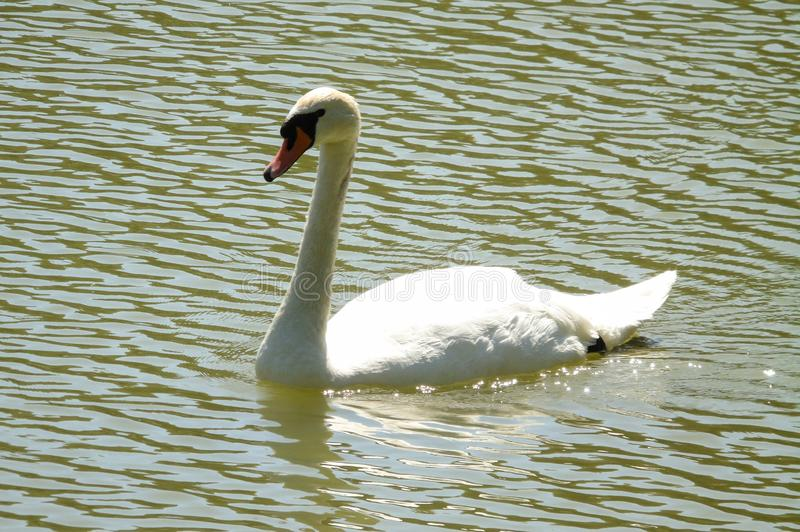 White swan on the green water of a lake, profile of big aquatic bird swimming, background of wild animal royalty free stock photo