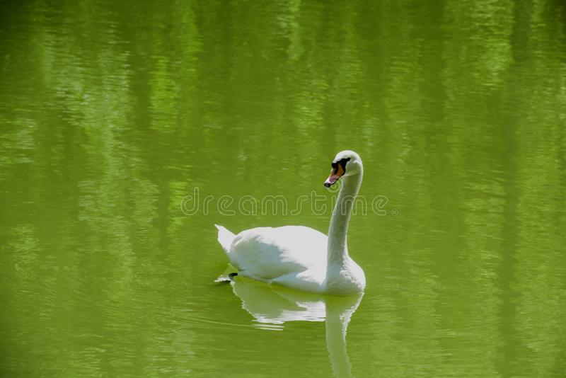 White swan in green water stock image