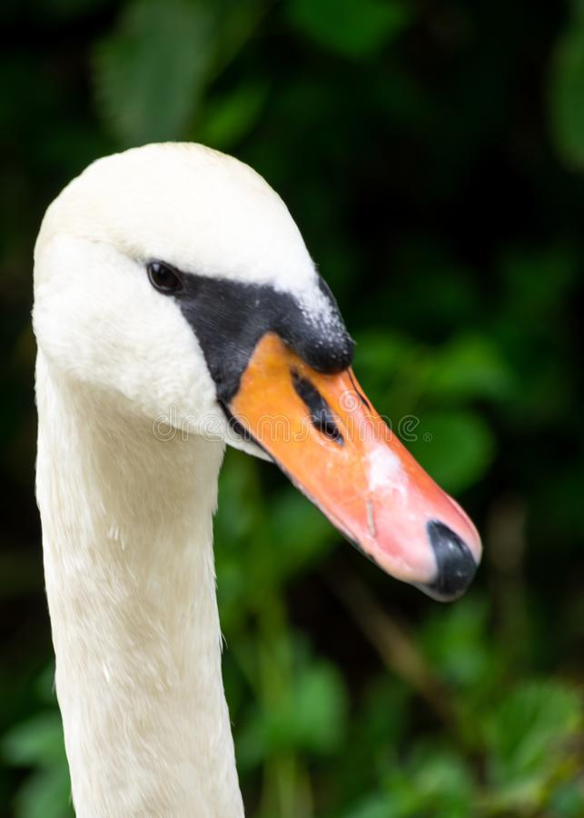 White swan head in detail with big beak and long neck royalty free stock photos