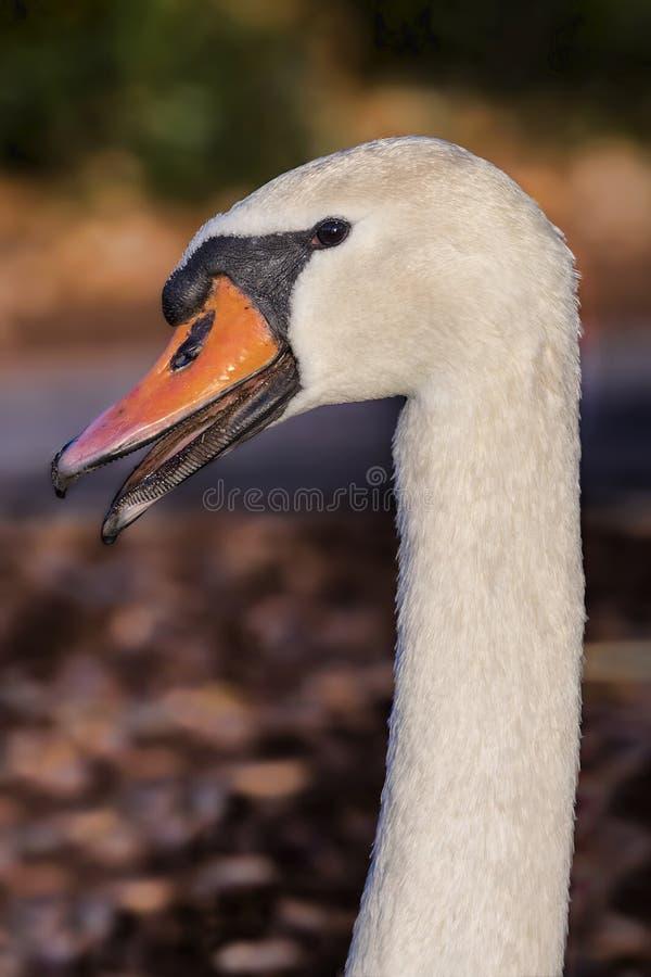 White Swan Head Shot stock photo