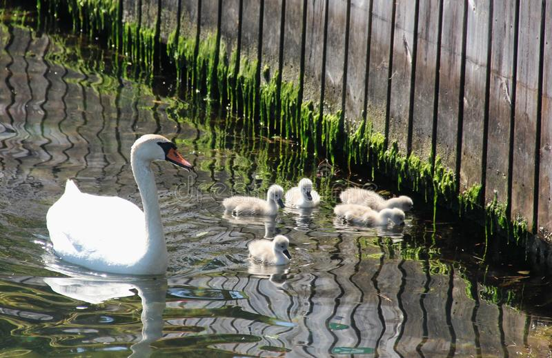 A white swan with chicks stock image