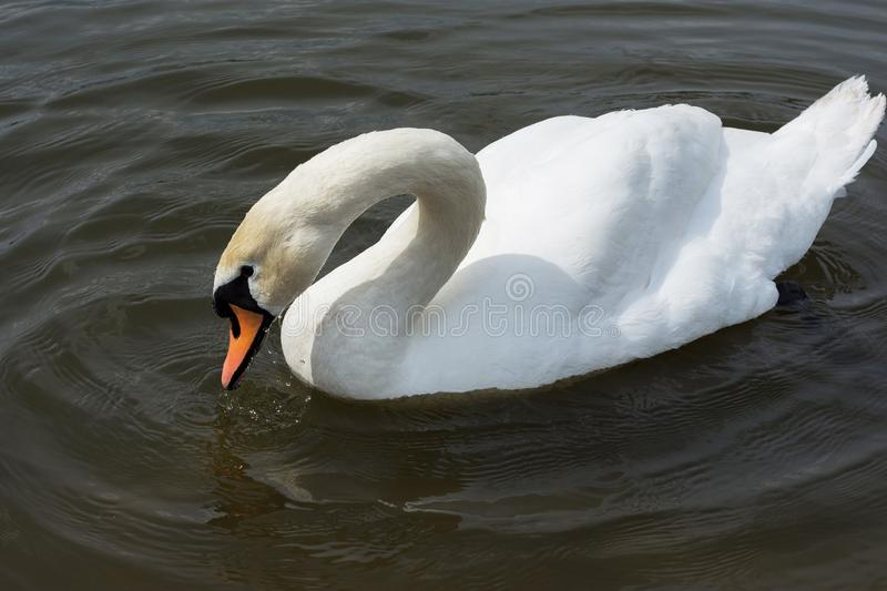 White Swan isolated. White swan on the lake stock photography