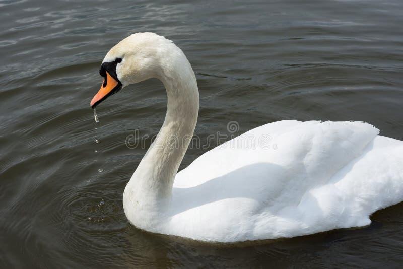 White Swan isolated. White swan on the lake stock photos