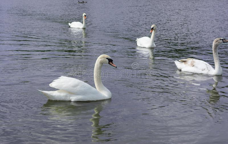 White Swan isolated. White swan on the lake royalty free stock image