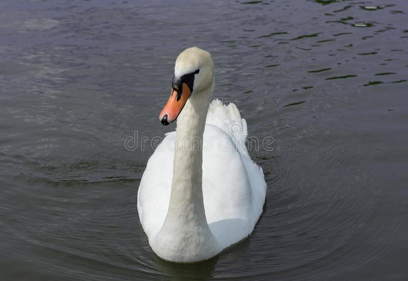 White Swan isolated. White swan on the lake royalty free stock photography