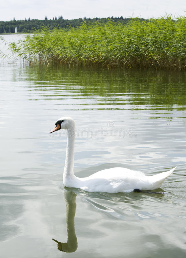 White swan on a lake royalty free stock images