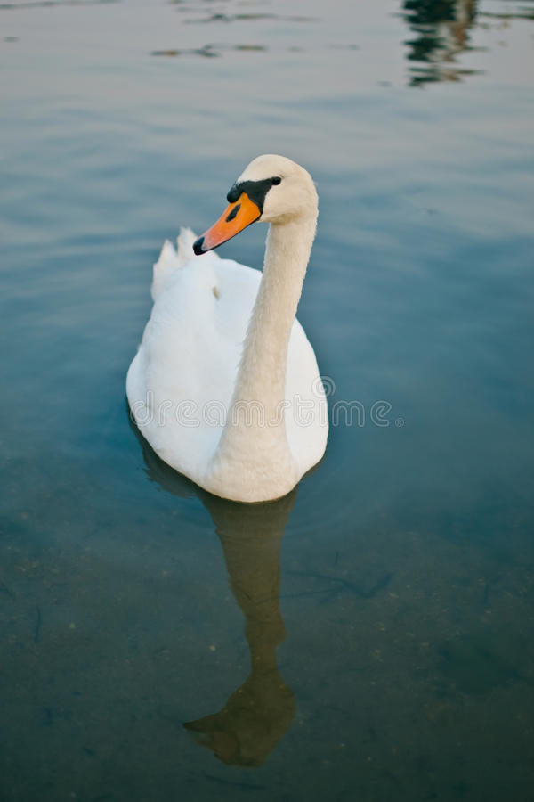 Download White Swan At Lake Royalty Free Stock Photography - Image: 25516407