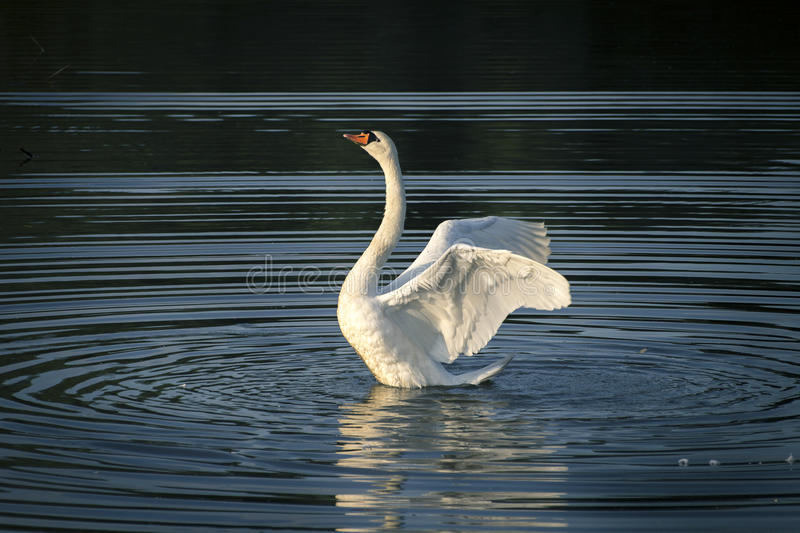 White swan on the lake.  stock images