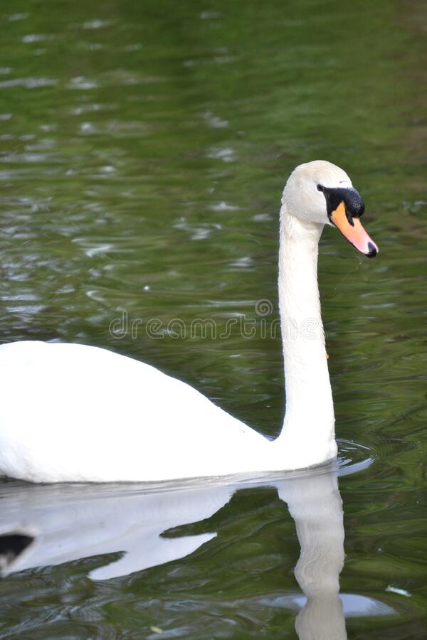 White Swan Free Public Domain Cc0 Image