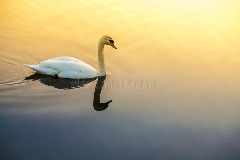 Sunrise over a lake with close up of white swan. White swan in lake closeup with yellow light from a sunrise stock photos