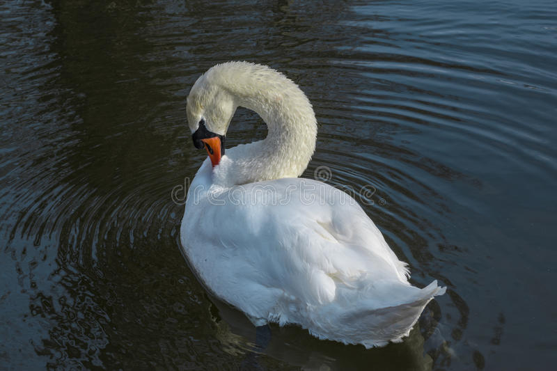 White swan. On the lake, making his plumage royalty free stock images