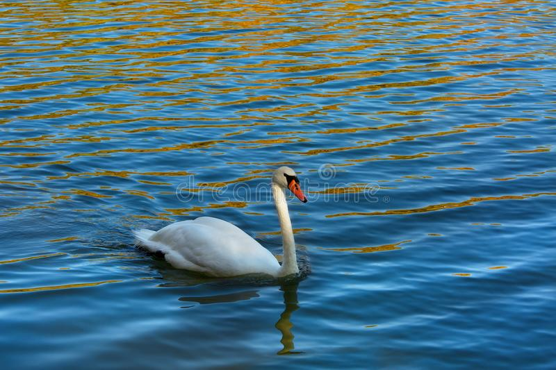 White swan in the lake, reflection of yellow leaves, fall season stock photo