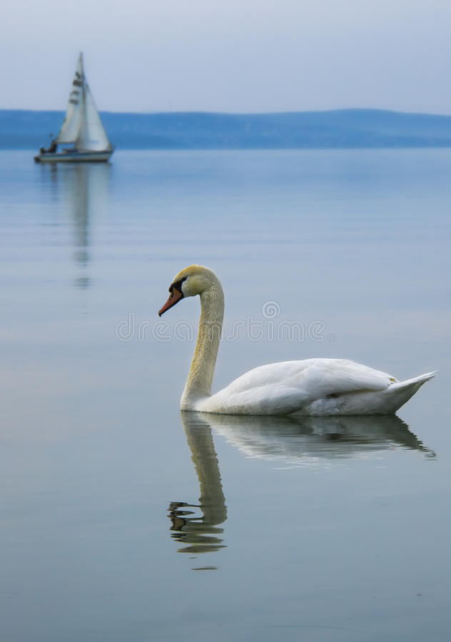 White swan on the lake with sailing boat royalty free stock photography