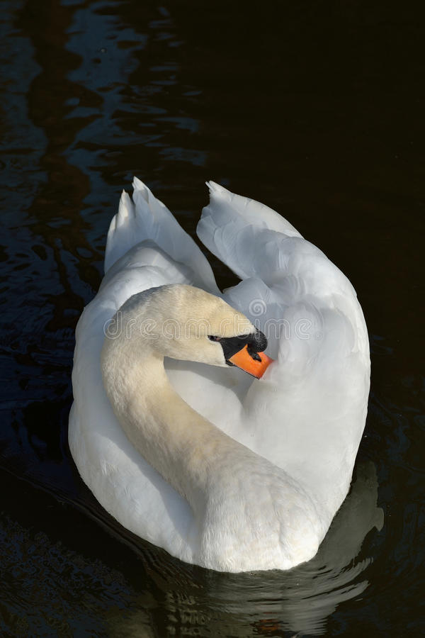 White swan. Isolated on the lake sleeping stock images