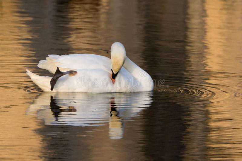 A white swan in a lake at sunset. royalty free stock photo
