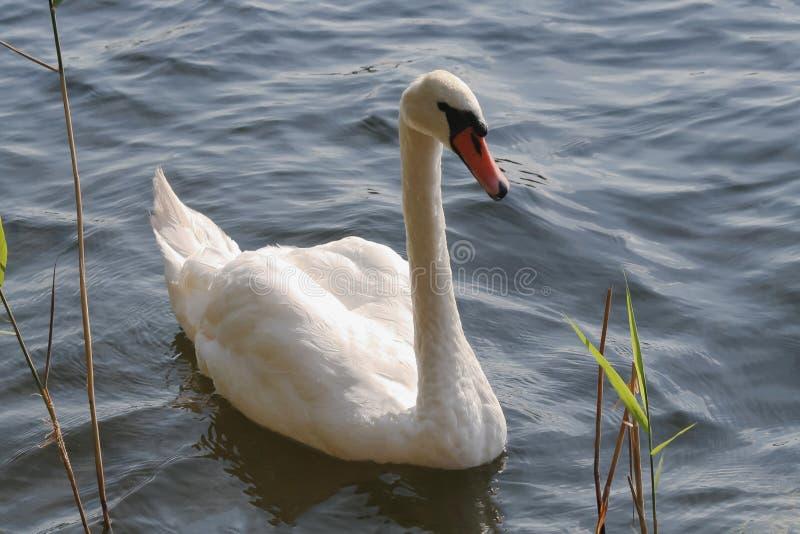 White swan lake stock image