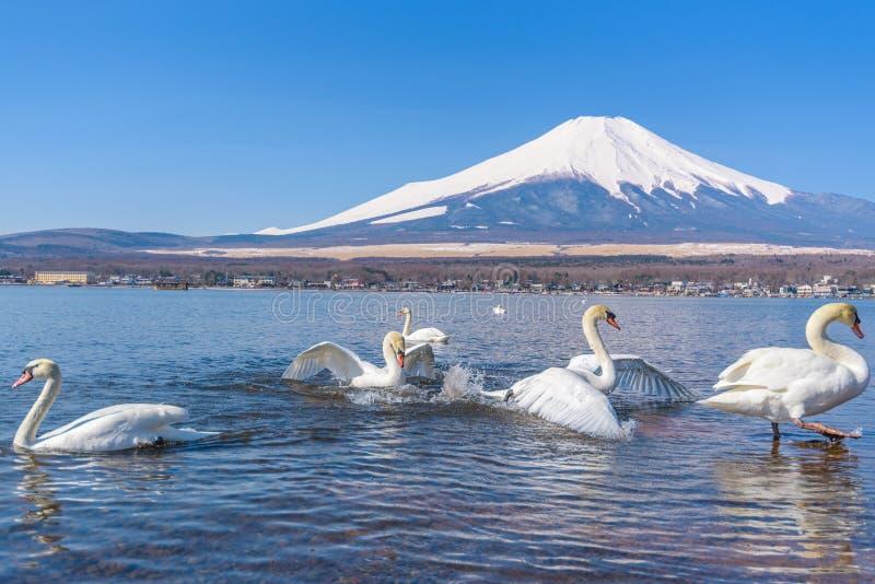White Swan of Lake Yamanaka with Mt. Fuji royalty free stock image