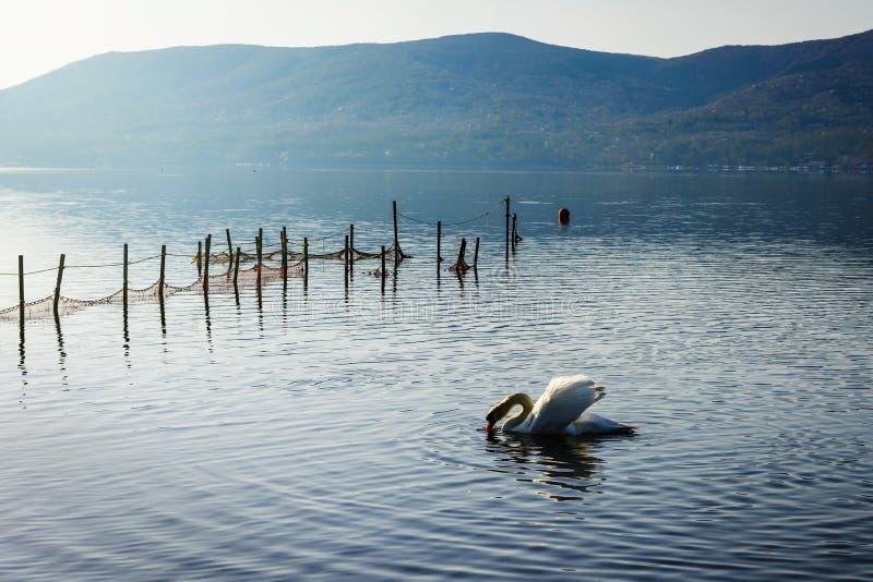 White Swan of Lake Yamanaka stock photos