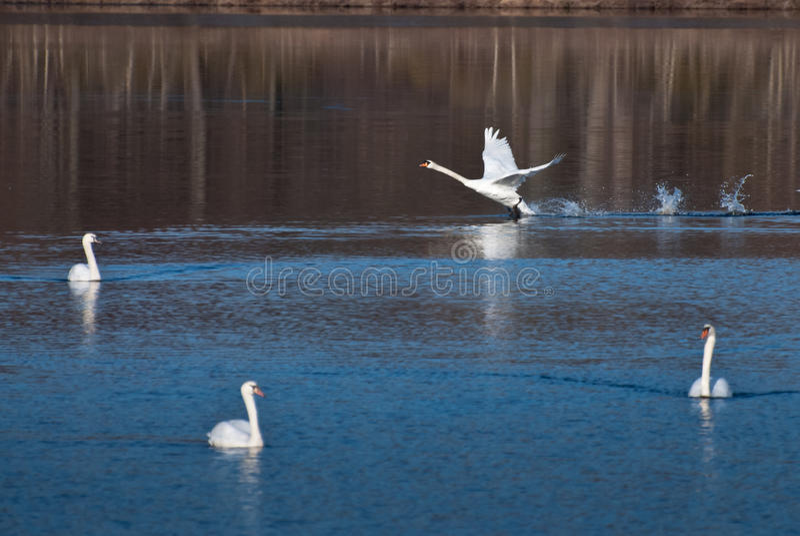Download White Swan Landing Among Friends Stock Photo - Image: 23408416