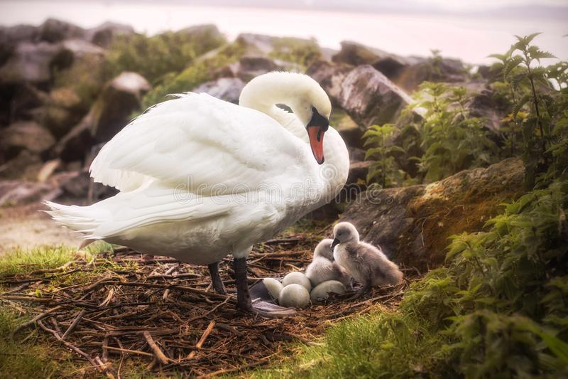 White swan with little chicks stock image
