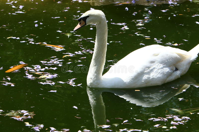 White swan lives in the zoo royalty free stock image