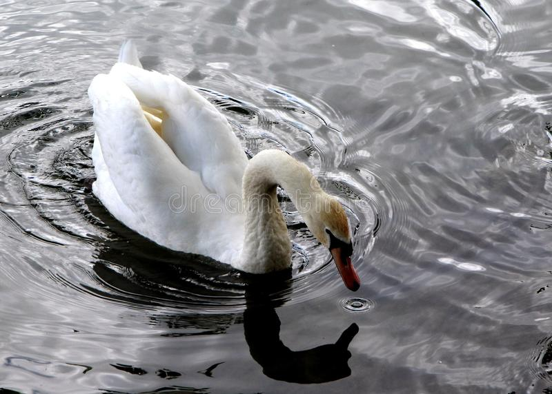 White swan looking for food. Swan Aquatic bird with long, flexible neck and white or black plumage stock photography