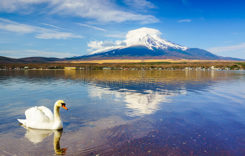 White Swan with Mount Fuji at Yamanaka lake, Japan royalty free stock images