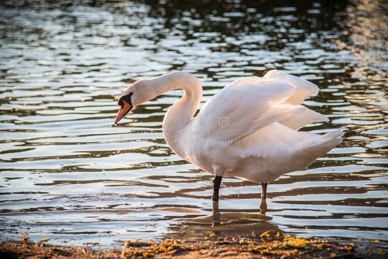 Very beautiful white swan. White swan near water of lake at soft light stock image