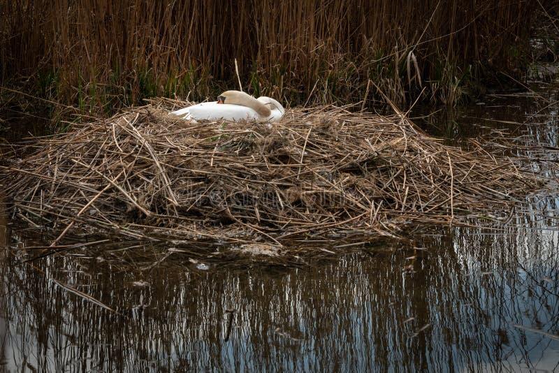 White swan in a nest in spring stock image