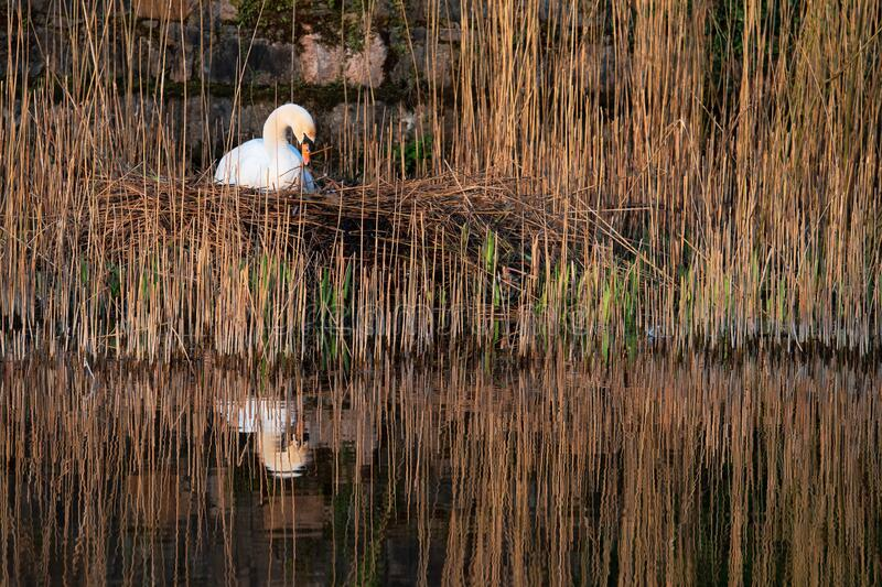 White swan in a nest. White swan in a nest by a water in cane. Brown tones , reflection in calm water royalty free stock images