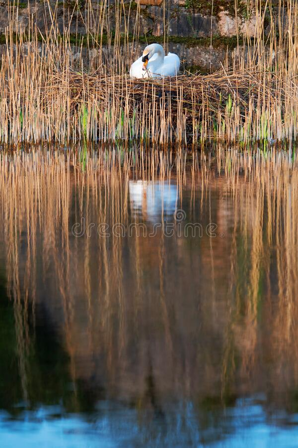 White swan in a nest. White swan in a nest by a water in cane. Brown tones , reflection in calm water stock photos