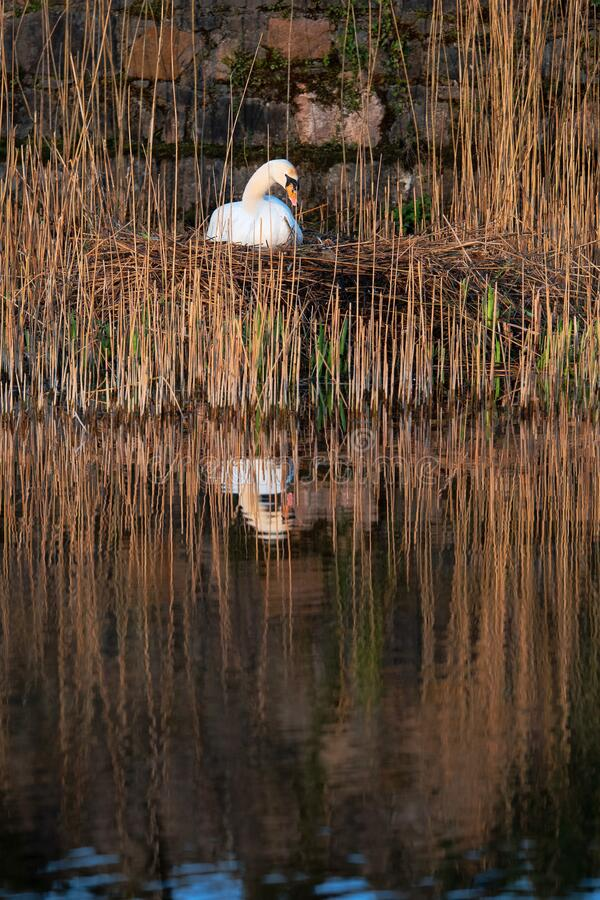 White swan in a nest. White swan in a nest by a water in cane. Brown tones , reflection in calm water stock photography