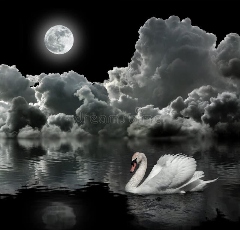 White swan at night royalty free stock photos