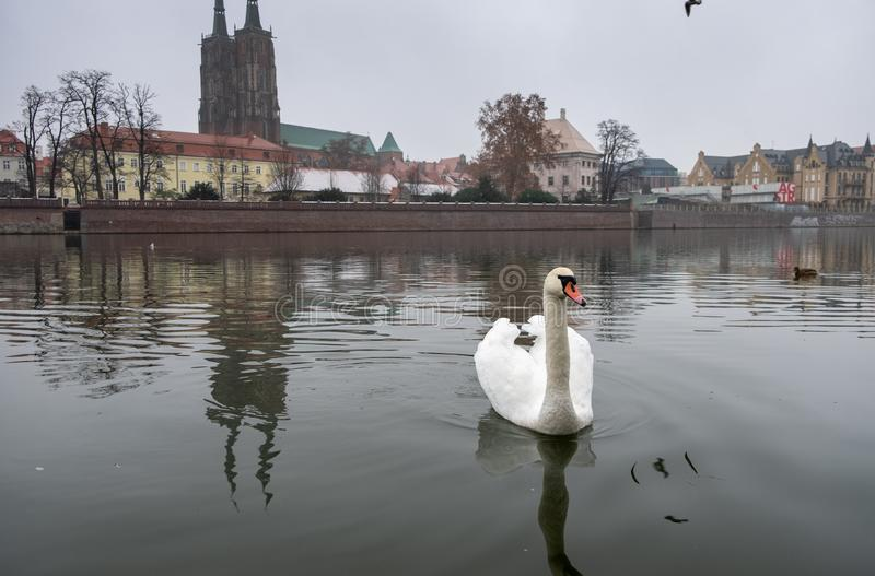 White swan on Odra River at cold snowy day. Ostrow Tumski district. Wroclaw. Poland royalty free stock image