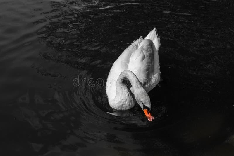 White swan with orange beak on water.  royalty free stock images