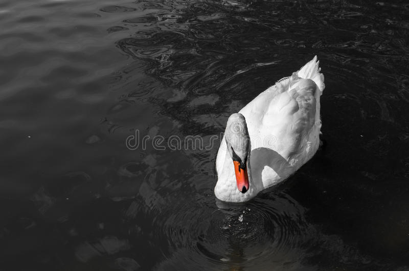 White swan with orange beak on water.  stock photo
