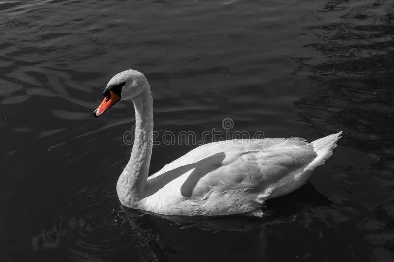 White swan with orange beak on water.  royalty free stock photos