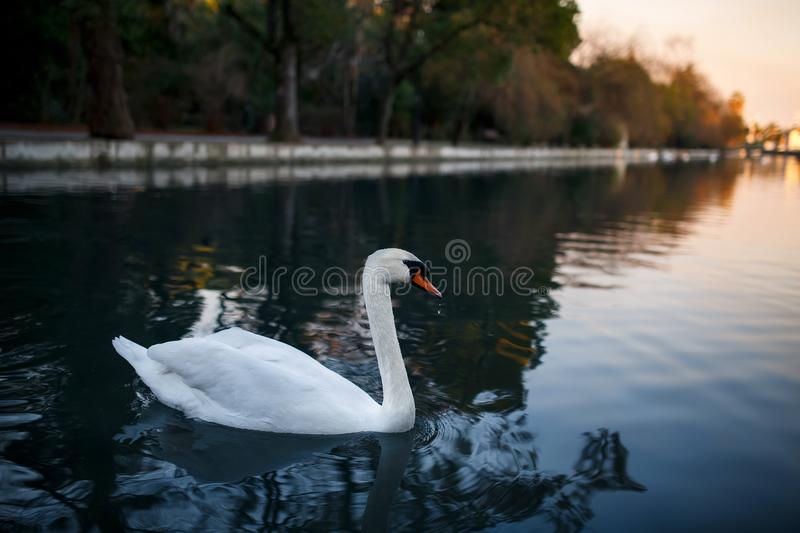 White swan on a pond, Beautiful and graceful royalty free stock image